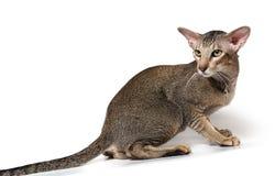 猫东方人 库存图片