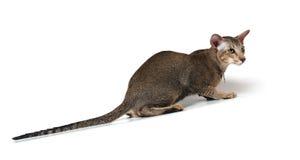 猫东方人 库存照片