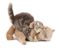 猫亲吻 库存图片