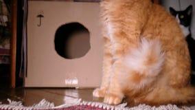 猫从地板和立场吃在爪子象meerkat 股票录像