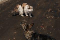 猫从狗发出嘘声露出保护自己的犬齿 侵略和敌意的概念在猫和狗之间 高 库存照片