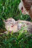 猫从狗发出嘘声露出保护自己的犬齿 侵略和敌意的概念在猫和狗之间 免版税库存照片