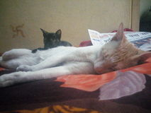 猫休眠 图库摄影