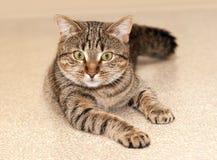 猫优美的严重的视域 库存照片