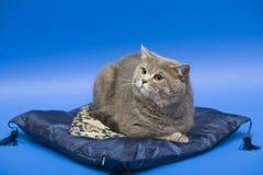 猫位于枕头苏格兰平直 免版税库存照片