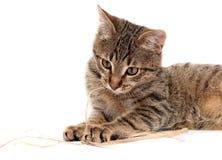 猫位于的平纹白色 库存照片