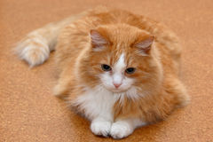 猫位于 免版税库存图片