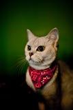 猫佩带的围巾 库存照片