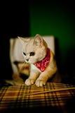 猫佩带的围巾 图库摄影
