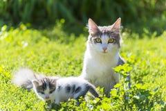 猫使用与在绿草的一只小猫 免版税图库摄影