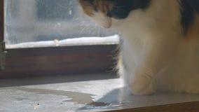 猫使用与它的有水水坑的爪子  股票视频