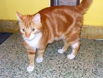 猫使用的奥利佛史东里面 库存照片