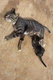 猫例证小猫向量 免版税库存照片