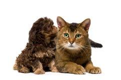 猫供玩赏用的小狗工作室 库存照片