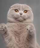 猫关闭折叠爪子苏格兰人 免版税图库摄影