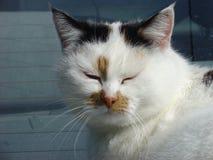 猫冥想 免版税库存图片