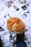 猫冬天桔子姜 免版税库存图片