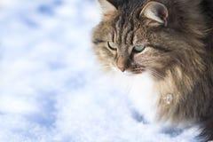 猫冬天画象在雪的 图库摄影
