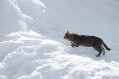 猫准备跳过随风飘飞的雪 图库摄影