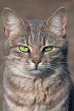 猫凝视 免版税库存照片