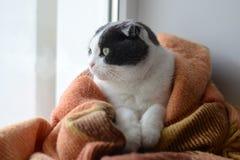 猫包裹了温暖的方格的格子花呢披肩坐窗口基石 免版税库存图片