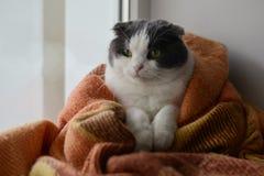 猫包裹了温暖的方格的格子花呢披肩坐窗口基石 免版税库存照片