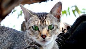猫印地安人 库存照片