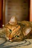猫口鼻部 免版税库存照片