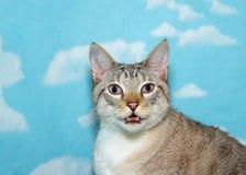 猫叫一只的暹罗猫的画象 库存照片