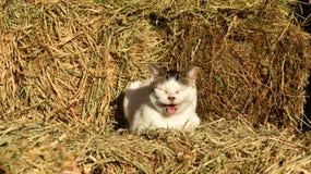 猫叫的猫坐干草捆在谷仓 免版税库存照片