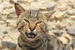 猫叫的猫 免版税图库摄影