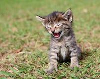 猫叫逗人喜爱的小猫 免版税库存照片