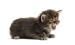猫叫逗人喜爱的缅因浣熊的小猫 库存图片