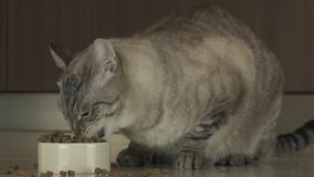 猫吃干燥食物慢动作股票英尺长度录影 影视素材