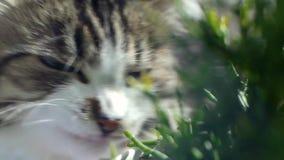 猫吃着新鲜的绿草 猫草,宠物草 夹子 自然hairball治疗,白色,红色宠物猫吃新鲜 股票录像