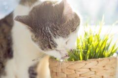 猫吃着草 库存图片