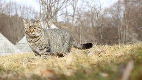 猫吃草 影视素材
