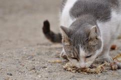 猫吃饥饿 图库摄影