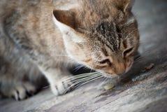 猫吃 图库摄影