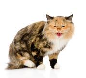猫吓唬了 背景查出的白色 库存图片