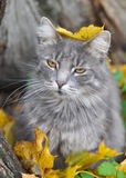 猫和下落的叶子,秋天 库存照片