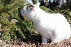 猫和云杉。嗅觉。 免版税库存图片