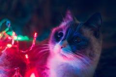 猫和圣诞灯 库存图片