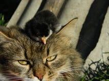猫和小鸡 免版税图库摄影