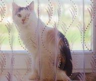猫和帷幕 免版税库存照片