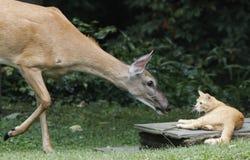 猫和母鹿问候 库存照片