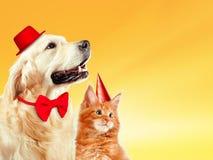 猫和狗与生日聚会帽子一起,缅因浣熊小猫,金毛猎犬看权利 黄色背景 免版税图库摄影