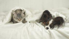 猫和狗说谎在床股票英尺长度录影的毯子下 影视素材