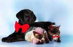 猫和狗,湄公河短尾的猫夫妇在婚礼服装的,黑拉布拉多,新郎,蓝色背景的新娘 免版税库存照片