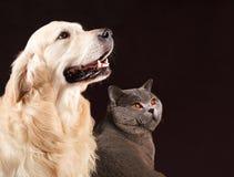 猫和狗,英国Shorthair,金毛猎犬看权利 免版税库存照片
